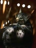 Chat adopté de Chambre photographie stock libre de droits