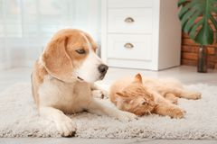 Chat adorable et chien se trouvant sur la couverture à la maison Image libre de droits