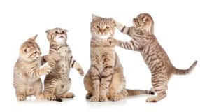 Chat adulte et jeune groupe de chatons sur le blanc Photos libres de droits