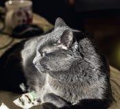 Chat adulte gris dans le profil image libre de droits