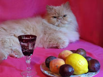 Chat adulte persan photographie stock