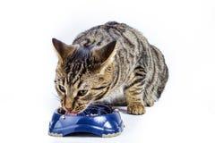 Chat affamé mangeant du bol de nourriture Images stock