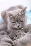 Chat affectueux de mère, portrait des Anglais Shorthair Photos libres de droits