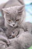 Chat affectueux de mère, portrait des Anglais Shorthair Image stock