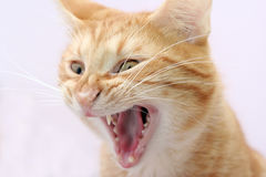 Chat agressif Photographie stock