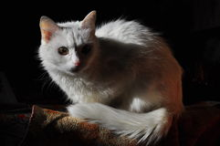 Chat albinos Photographie stock