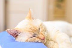 Chat américain beige de cheveux courts dormant sur l'oreiller bleu Photos stock