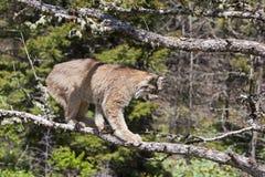 Chat américain de lynx Images libres de droits