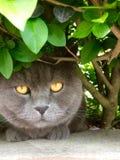 Chat anglais de shorthair avec l'orange Photographie stock