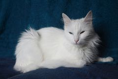 Chat angora Photographie stock