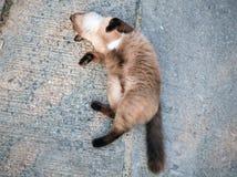 Chat animal Cat Domestic mignonne en gros plan, chat de thèmes d'action d'action Image stock