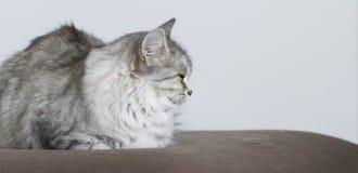 Chat argenté sur le sofa Photos stock
