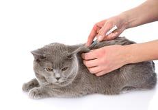 Chat atteignant un vaccin la clinique vétérinaire Images libres de droits