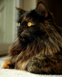 Chat aux cheveux longs Photo stock