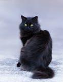Chat aux cheveux longs noir Image stock