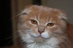 Chat aux oreilles tombantes sérieux regardant l'appareil-photo Photos stock