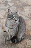 Chat aux yeux bleus Photographie stock libre de droits