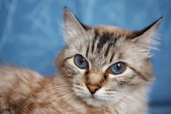 Chat aux yeux bleus Image stock