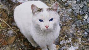 Chat aux yeux bleus de beauté photographie stock libre de droits