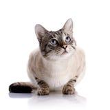 Chat aux yeux bleus rayé Photos stock