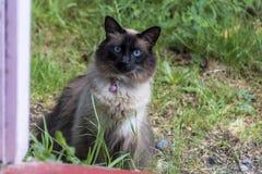 Chat aux yeux bleus regardant à l'intérieur de la maison images stock