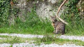 Chat aux yeux verts auto-se toilettant parmi l'herbe banque de vidéos