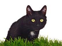Chat aux yeux verts noir derrière l'herbe d'isolement Photographie stock libre de droits