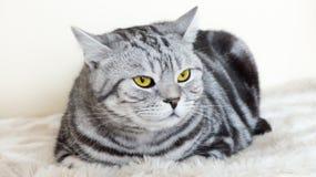 Chat avec de beaux yeux Image stock