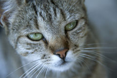 Chat avec de beaux yeux Photo libre de droits