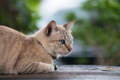 Chat avec de beaux yeux sur la table en bois Photo libre de droits