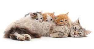 Chat avec des chatons Image stock