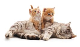 Chat avec des chatons Images stock