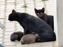 Chat avec des chatons Photographie stock