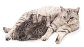 Chat avec des chatons Images libres de droits