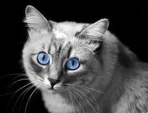 Chat avec des œil bleu Image libre de droits