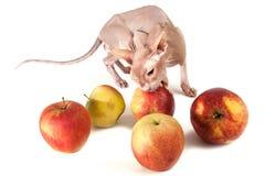 Chat avec des pommes images libres de droits