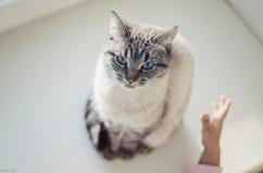 Chat avec des yeux bleus Images libres de droits