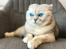 Chat avec des yeux bleus Photographie stock