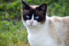 Chat avec des yeux bleus, se tenant dans l'herbe Photographie stock