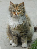 Chat avec la coloration peu commune Image libre de droits