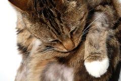 Chat avec la dermatite Images stock