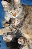 Chat avec le chaton nouveau-né Images libres de droits