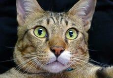 Chat avec le oeil écarquiller Photo stock