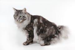 Chat avec le petit arrière Photographie stock