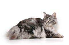Chat avec le petit arrière Photo libre de droits