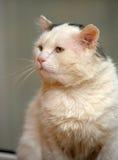 Chat avec les yeux expressifs Photographie stock