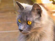 Chat avec les yeux jaunes Images stock