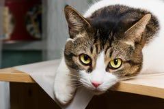 Chat avec les yeux jaunes Image stock