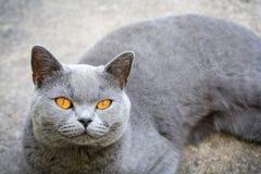 Chat avec les yeux oranges lumineux se reposant sur le plancher image libre de droits
