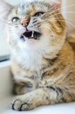 Chat avec une grimace animale photographie stock